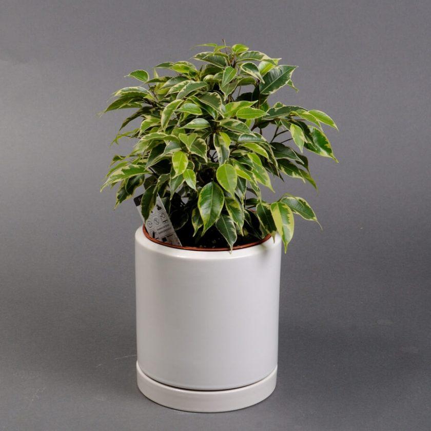 Фикус - краткий обзор растения ► 1